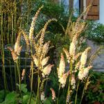 Actaea japonica 'Cheju-do' - Christoffelkruid, Zilverkaars - Actaea japonica 'Cheju-do'