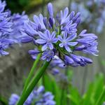 Agapanthus 'Blue Umbrella' - Agapanthus 'Blue Umbrella' - Afrikaanse lelie