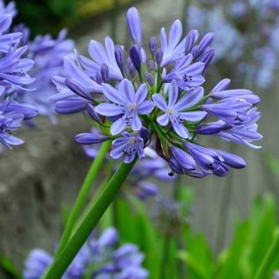 Agapanthus 'Blue Umbrella' -