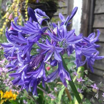 Agapanthus 'Northern Star'