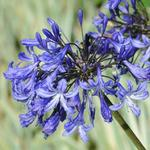 Agapanthus 'Purple Cloud' - Afrikaanse lelie