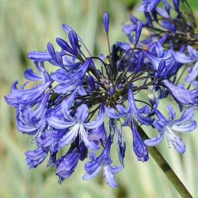 Afrikaanse lelie - Agapanthus 'Purple Cloud'