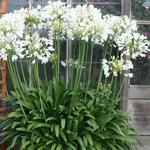 Agapanthus praecox 'Getty White' - Agapanthus praecox 'Getty White' - Afrikaanse lelie