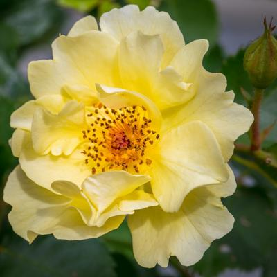 Rosa 'Golden Showers' -