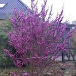 Cercis chinensis 'Avondale' - Chinese judasboom
