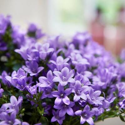 Campanula 'Ambella Blue' -