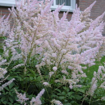 Astilbe x arendsii