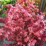Acer palmatum 'Shaina' - Japanse esdoorn - Acer palmatum 'Shaina'