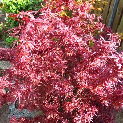 Acer palmatum 'Shaina' -