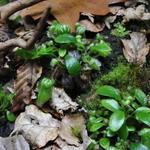 Cephalotus follicularis - Cephalotus follicularis - Australische bekerplant, vleesetende plant