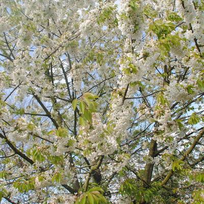 Prunus avium 'Burlat' -