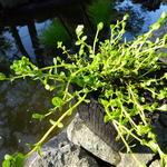 Rotala rotundifolia 'Green' - Rotala - Rotala rotundifolia 'Green'