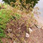 Acer palmatum 'Alloys' - Acer palmatum 'Alloys' - Japanse esdoorn