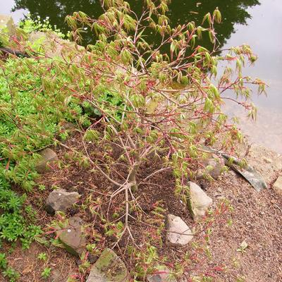 Acer palmatum 'Alloys' -