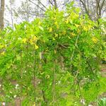 Caragana arborescens 'Pendula' - Caragana arborescens 'Pendula' - Erwtenstruik
