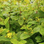 Hypericum  'Excellent Flair' - Hertshooi