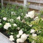 Hortensia, pluimhortensia - Hydrangea paniculata 'Sundae Fraise'