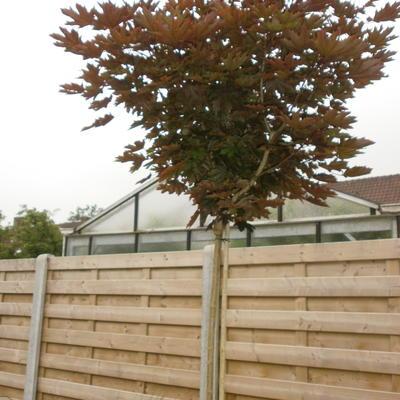 Acer platanoides 'Crimson Sentry' -