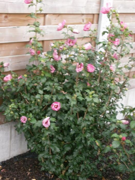 tuinhibiscus altheastruik heemstroos hibiscus. Black Bedroom Furniture Sets. Home Design Ideas