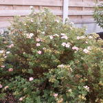 Potentilla fruticosa ´Pink Lady´ - Potentilla fruticosa ´Pink Lady´ - Struikganzerik