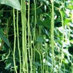 Vigna unguiculata subsp. sesquipedalis - Vigna unguiculata subsp. sesquipedalis - Kousenband