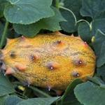 Cucumis metuliferus - Cucumis metuliferus - Kiwano of hoornmeloen