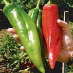 Capsicum annuum  'Numex Big Jim' - Chilipeper
