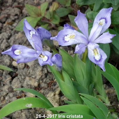 Iris cristata -