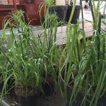 Cyperus papyrus - Cyperus papyrus - Papyrusriet, Parapluplant