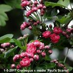 Crataegus x media 'Paul's Scarlet' - Tweestijlige meidoorn