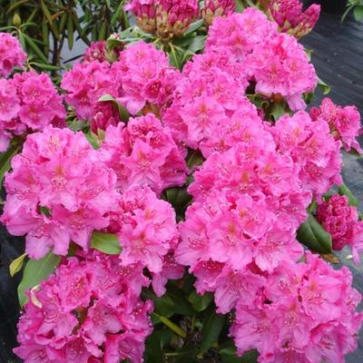 Rhododendron 'Claudine' -