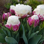 Tulipa 'Ice Cream' - Tulp
