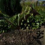 Chloranthus fortunei - Chloranthus fortunei - Chloranthus