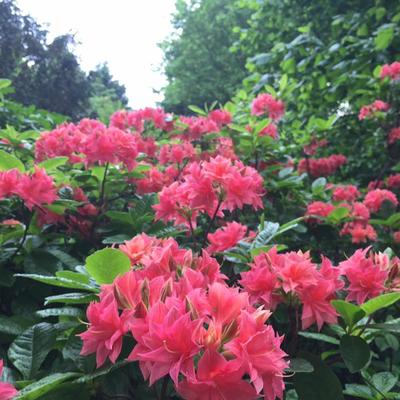 Rhododendron 'Norma' -