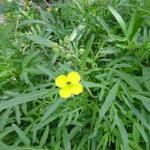Diplotaxis tenuifolia - Diplotaxis tenuifolia - Grote zandkool,Gewone zandkool, Wilde rucola