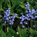 Hyacinthoides hispanica - Hyacinthoides hispanica - Wilde hyacint, Boshyacint, Spaanse hyacint