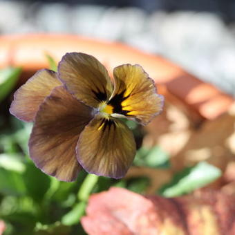 Viola cornuta  'Irish Molly'