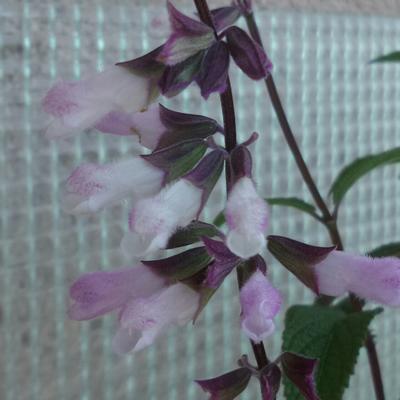 Salvia 'Waverly' -