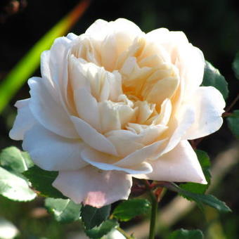 Rosa 'Crocus Rose'