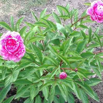Paeonia lactiflora 'Bunker Hill' -