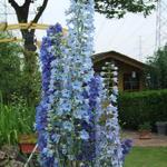 Delphinium 'Blue Bird' - Ridderspoor