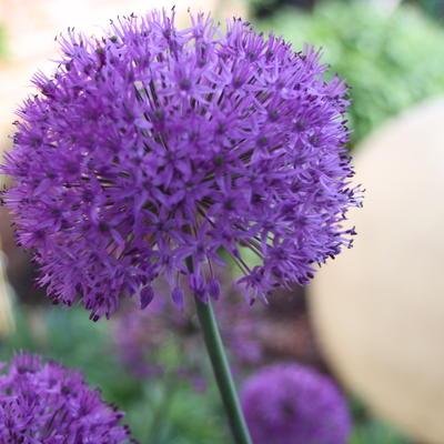 Allium aflatunense -