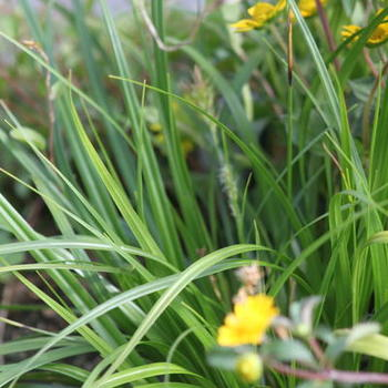 Carex oshimensis 'Evergreen'