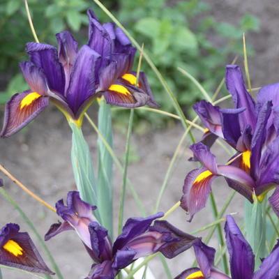 Iris x hollandica 'Eye of the Tiger' -