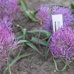 Muscari comosum 'Plumosum' - Muscari comosum 'Plumosum' - Kuifhyacint