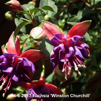 Fuchsia 'Winston Churchill'