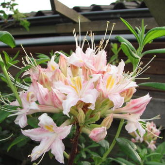 Rhododendron 'Tri-Lights'