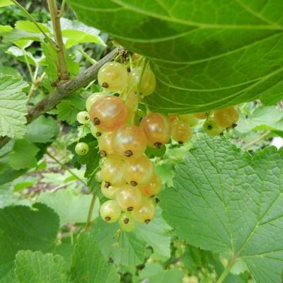 Ribes rubrum 'Versaillaise Blanche' - Witte aalbes