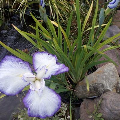 Iris ensata 'Gracieuse' -