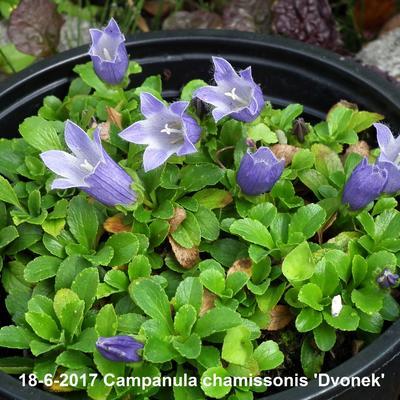 Campanula chamissonis 'Dvonek' -
